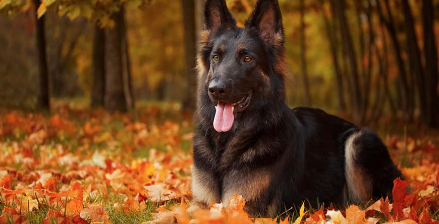 long haired german shepard with pink tongue hanging out laying in the forest during autumn with colorful red and orange leaves surrounding