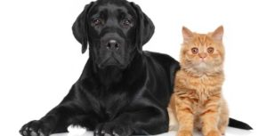 a black lab dog laying next to an orange haired cat also sitting on a white background
