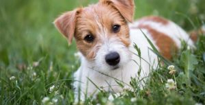 a brown and white terrier mix laying on green grass with white flowers