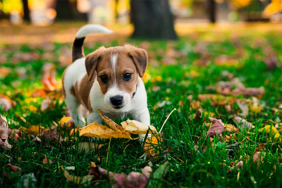 brown and white dog trotting through green grass at a park with many colorful leaves scattered throughout