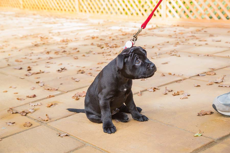 a small black puppy looking terrified while sitting on the sidewalk and getting pulled by a red leash attached