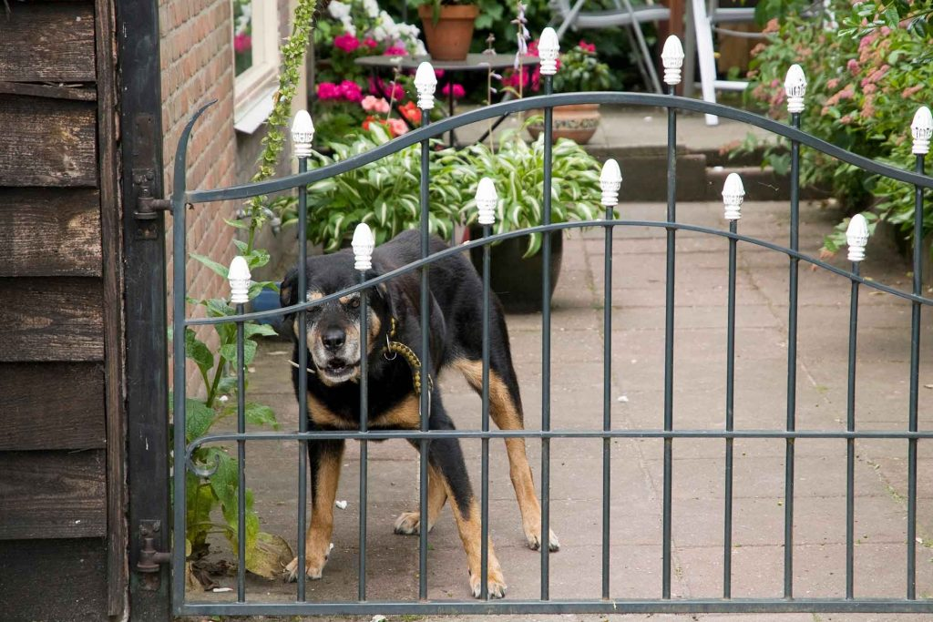 Black and brown large dog behind a barrier giving an aggressive expression