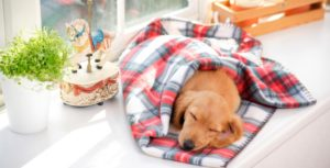 Golden retriever puppy wrapped in a plaid white and red blanket sleeping on the white window sill next to a vibrant green plant