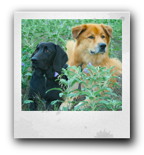a black lab dog laying next to a brown long haired dog in a green field