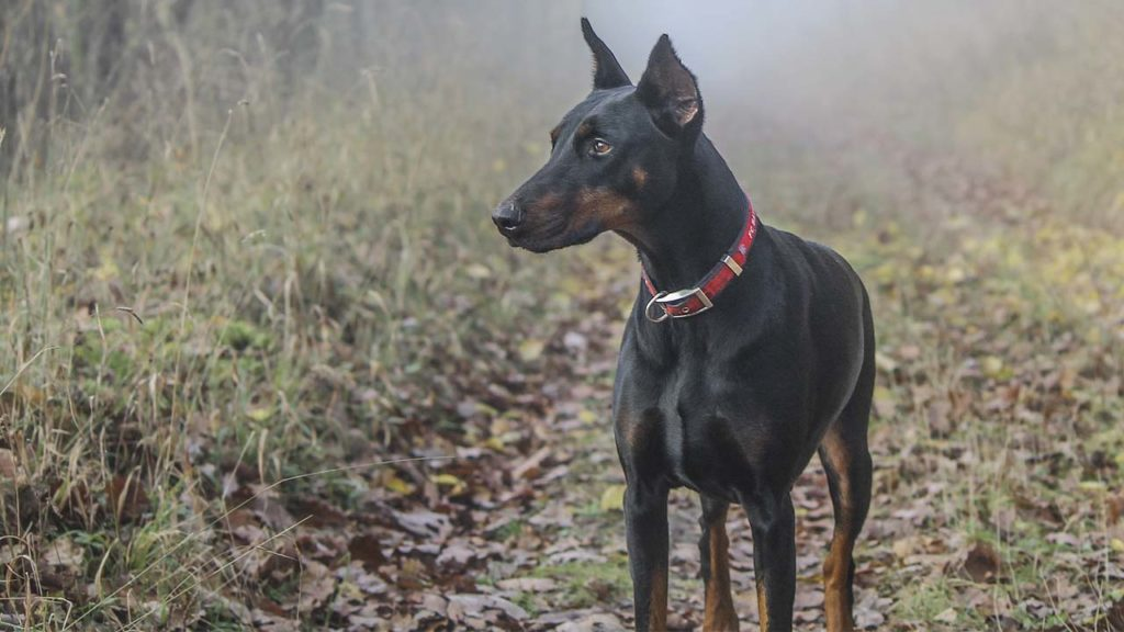 a doberman pincher with a red collar standing on a hiking trail with some morning mist