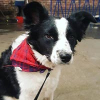 Black and white dog with black leash attached outside wearing a red bandana around its neck