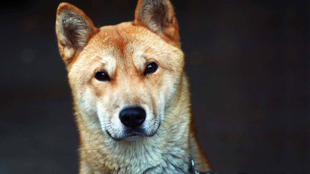 a korean jindo dog looking right into the camera