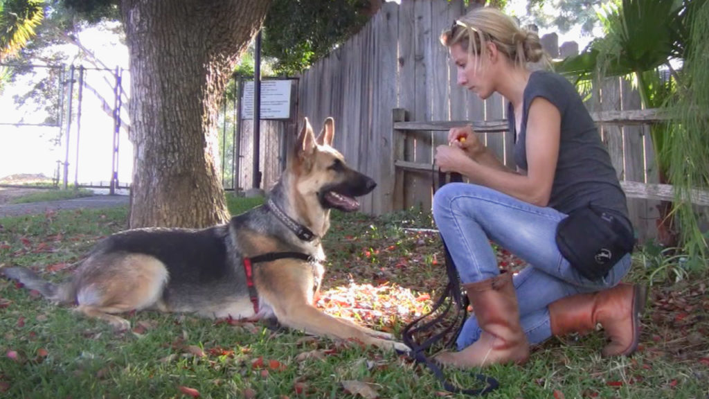 German Shepard with a red harness in a down position on the green grass next to a tree and a blonde hair woman with blue jeans and brown boots getting ready to deliver a treat