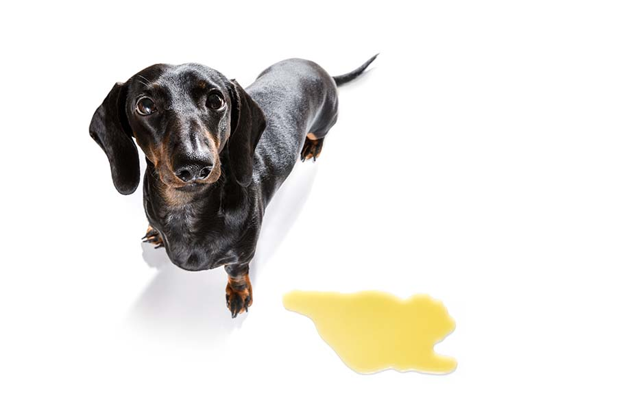 Black and brown dog on a white background standing next to a puddle of yellow urine