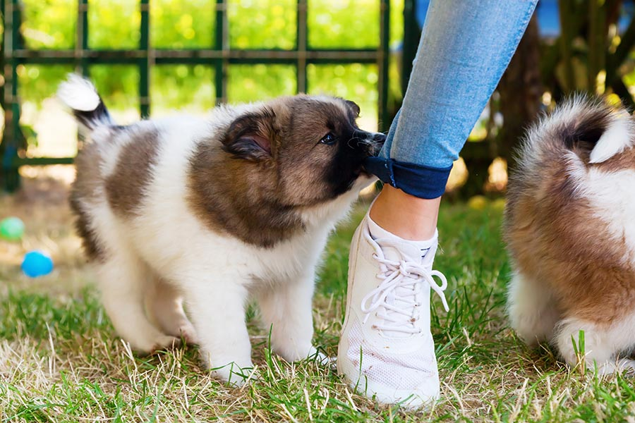 Fluffy white and brown haired puppy on green grass biting at the blue pants of a woman with white shoes on