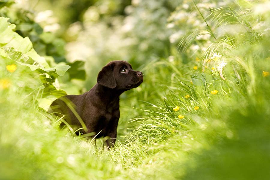 Brown cute puppy looking off into the distance while standing in green grass with yellow small flowers