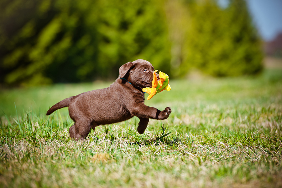 Brown puppy with blue collar running through a green grass field with a dog toy in it's mouth