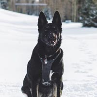 Black dog with harness on sitting outside in the white snow