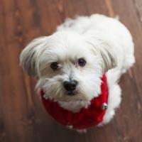 White fluffy dog sitting on hardwood floor looking up while wearing a red bandana