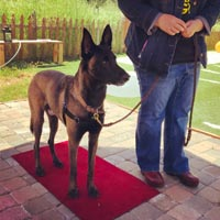 Belgian malinois dog standing on a red mat while woman with blue jeans and blue jacket holds leash that is attached