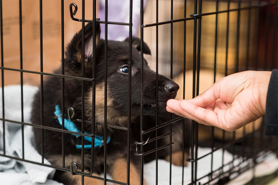Black and brown puppy with blue collar in a dog crate with black bars while a hand feeds a treat