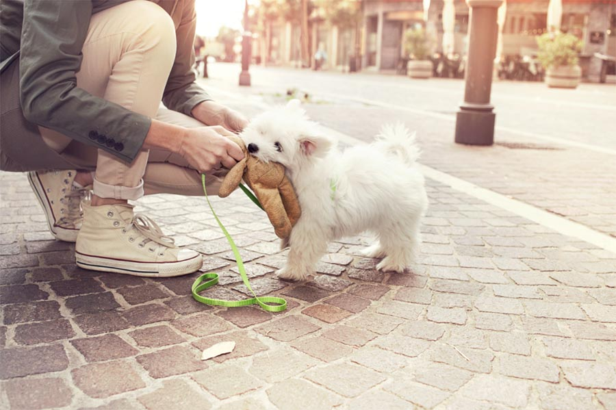 Small fluffy white puppy standing on a brick sidewalk with a green harness and leash while a man with white shoes and white pants plays tug with a brown dog toy