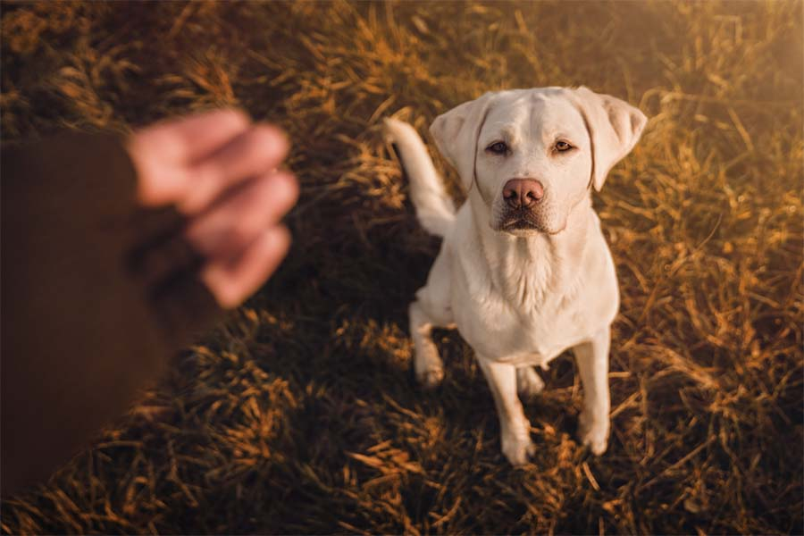 White puppy looking attentive to a human giving a dog training hand signal outside on the grass