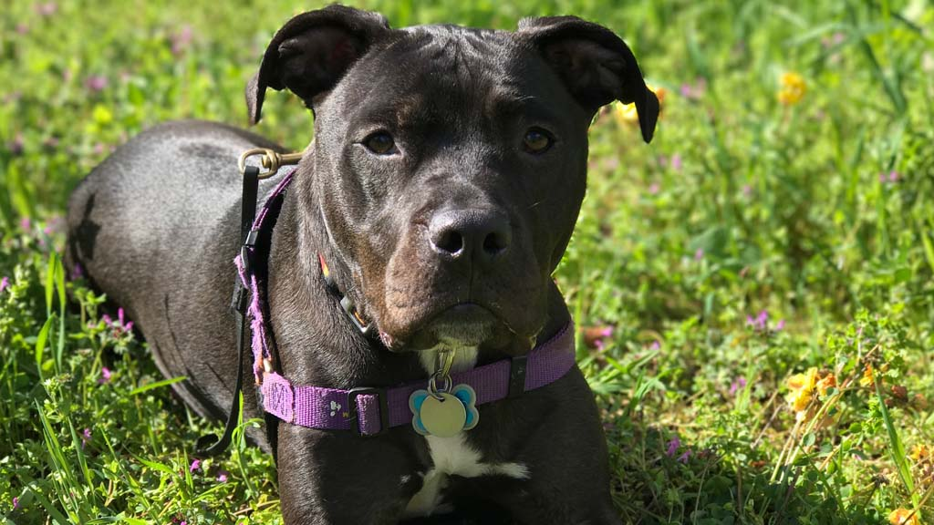 brown pit bull dog with a purple collar laying on green grass surrounded by purple wild flowers