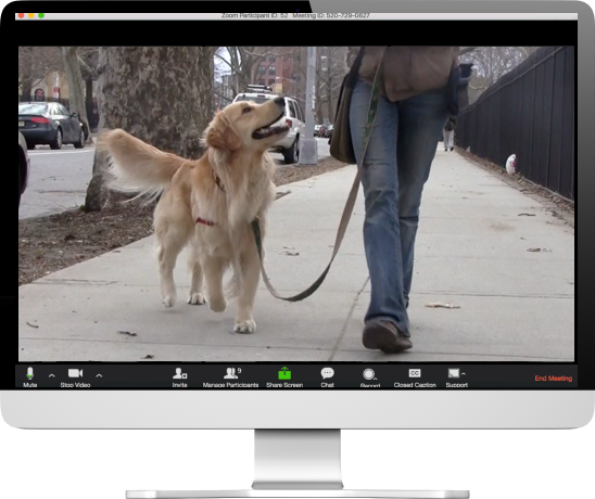 MAC computer with a golden retriever dog on the screen going for a walk on harness and leash with a woman with blue jeans on walking on the sidewalk