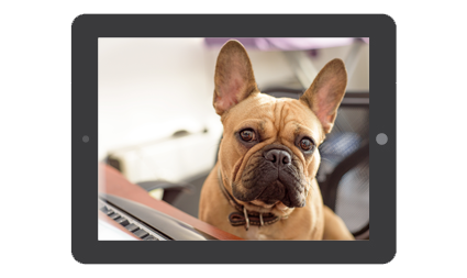 Brown french bulldog sitting at a computer and desk with ears pointing straight up