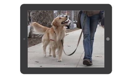 Golden retriever dog walking on the sidewalk and looking at a woman with blue jeans and brown shoes holding a leash