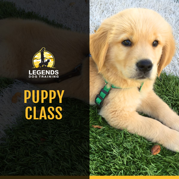 Cute yellow colored puppy with green harness on green and white artificial turf