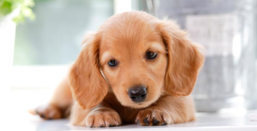 Cute puppy golden retriever laying on a white ground