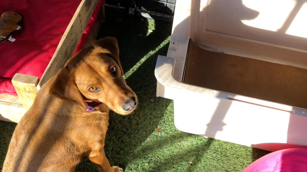 brown dog standing next to a dog crate