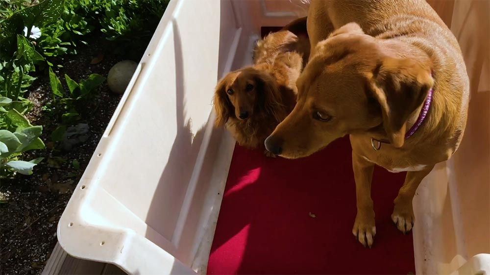 two brown dogs with four paws each inside a dog crate