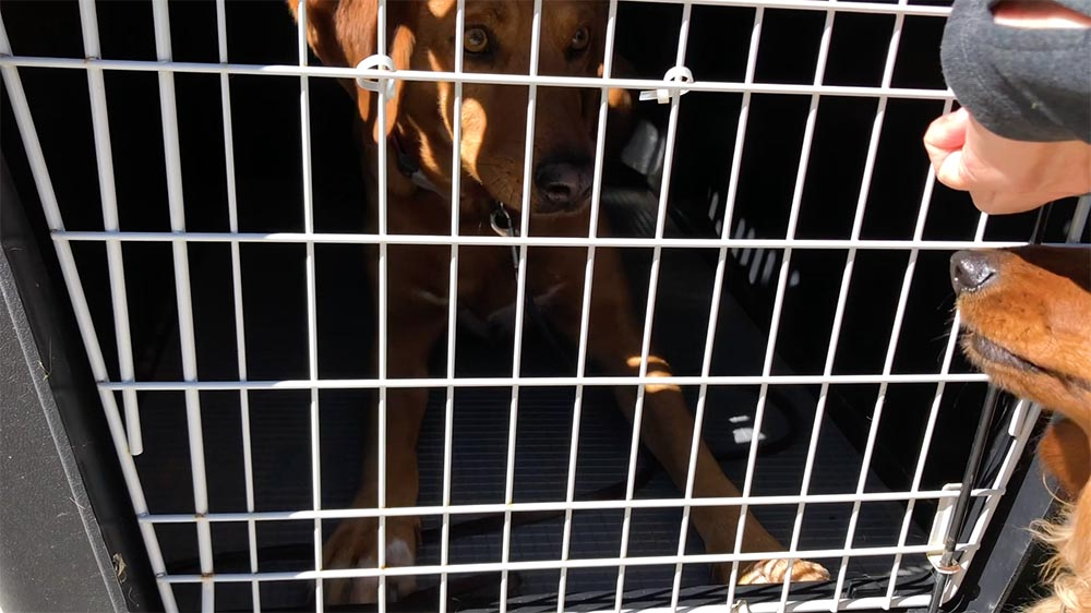brown dog inside dog crate with a closed gate on the front